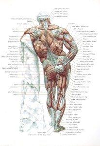 Anatomía frontal